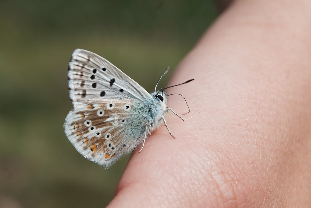 white and black butterfly on human finger