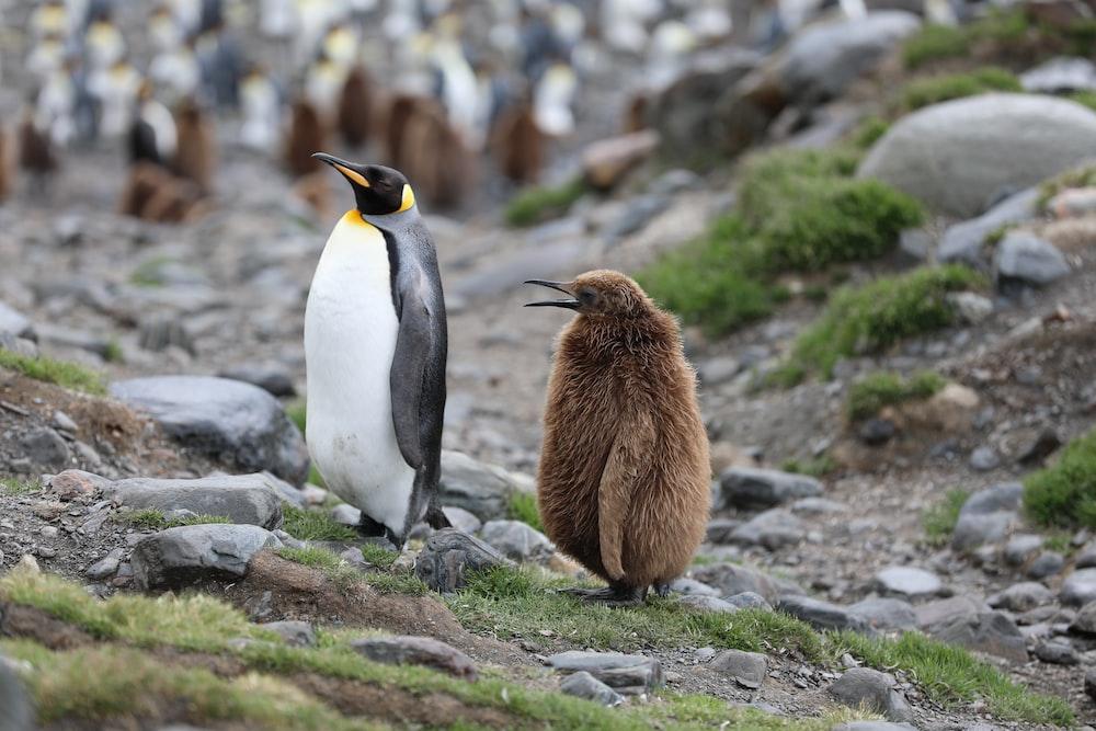 white and black penguin on gray rock