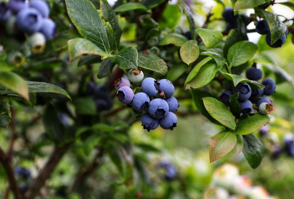 blue berries in tilt shift lens