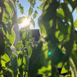 green leaves with sun rays
