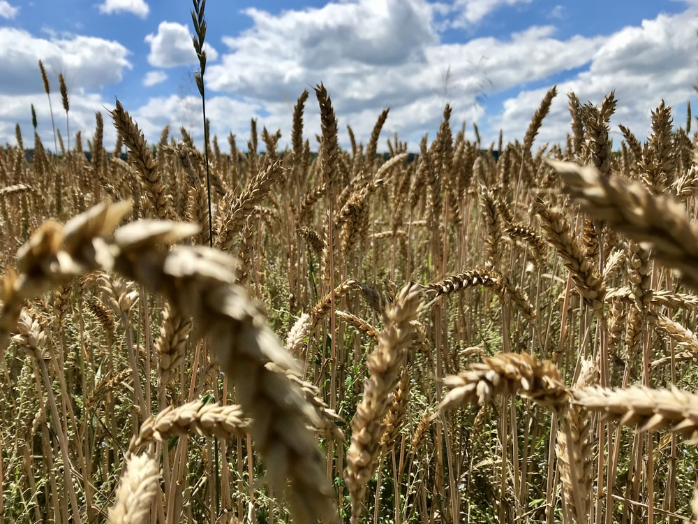 brown wheat field under blue and white cloudy sky during daytime