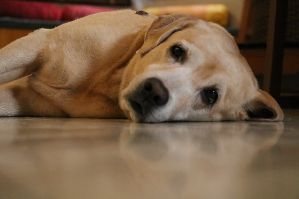 yellow labrador retriever lying on floor