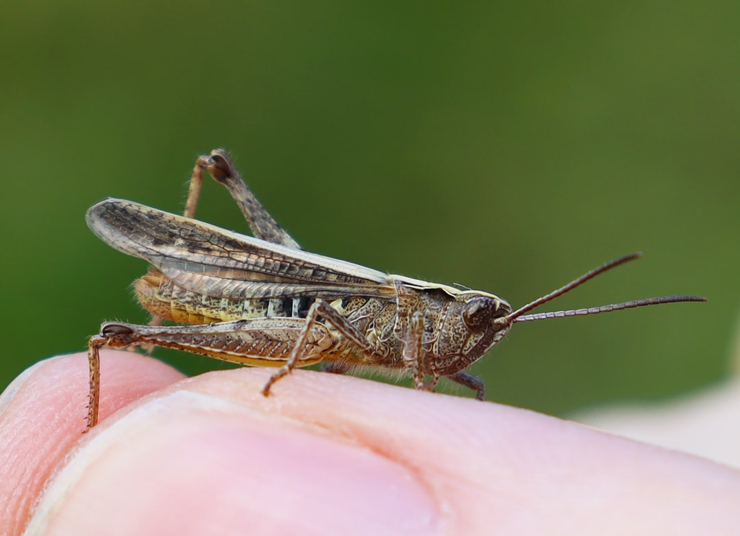 The grasshopper on human hand.