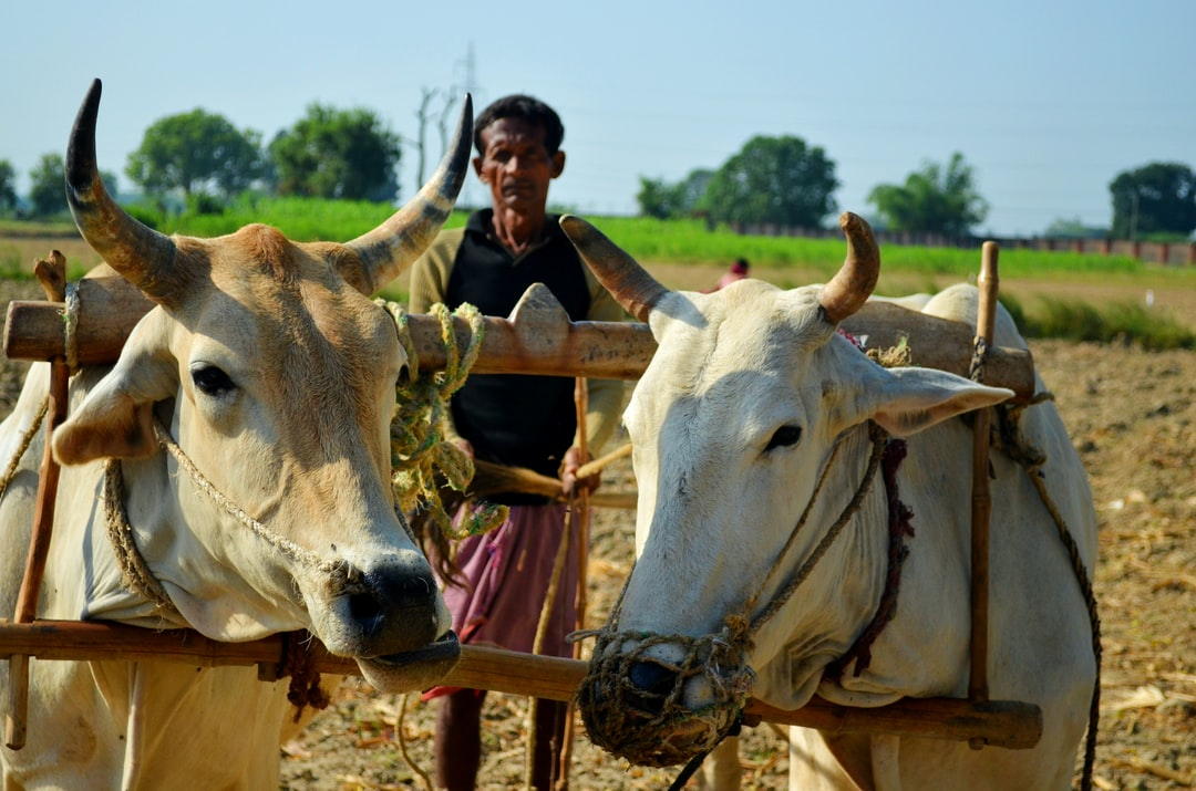The most underrated and for granted occupation. A couple of Oxen and a excited farmer posing to get clicked while working on the fields ultimately to put food on our table.