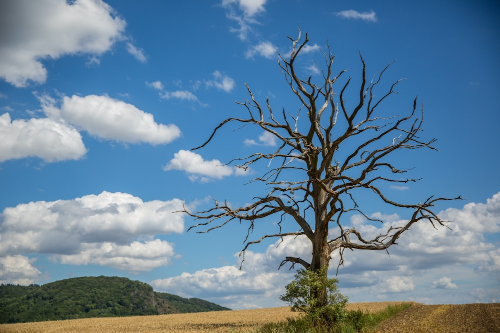 leafless tree on green grass field under blue sky and white clouds during daytime