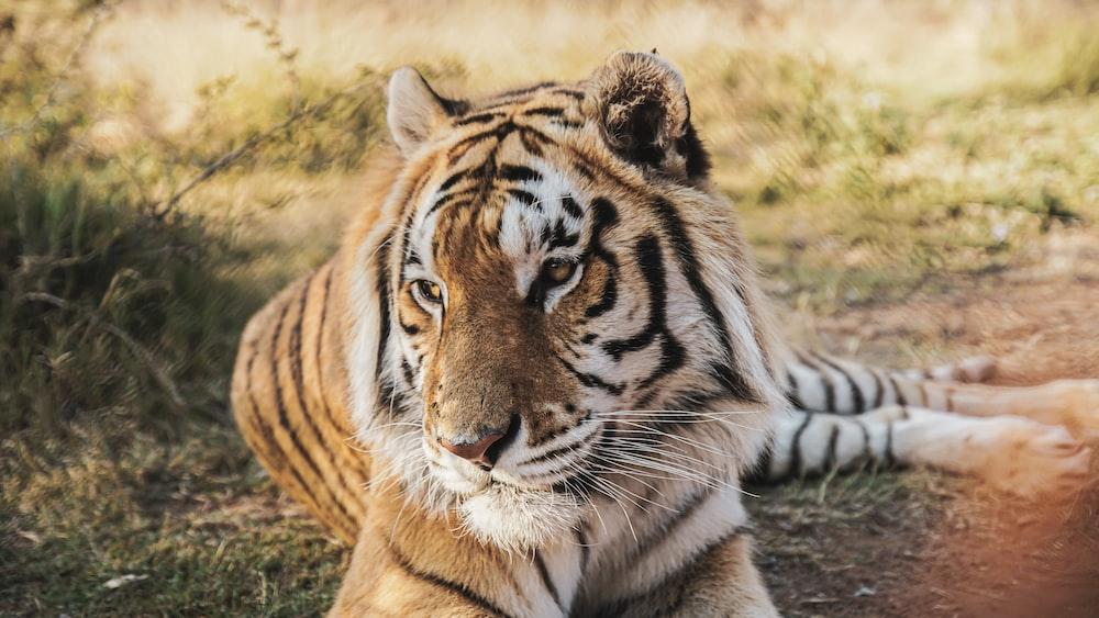 tiger lying on brown grass during daytime