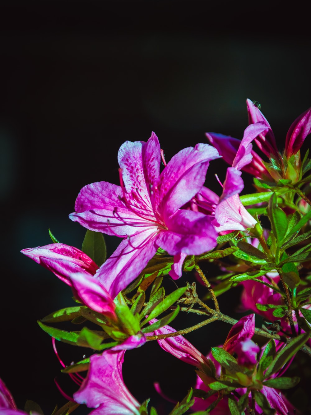 purple flower in black background