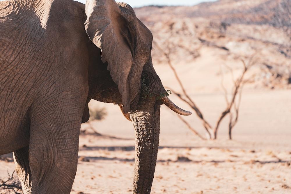 brown elephant walking on brown sand during daytime