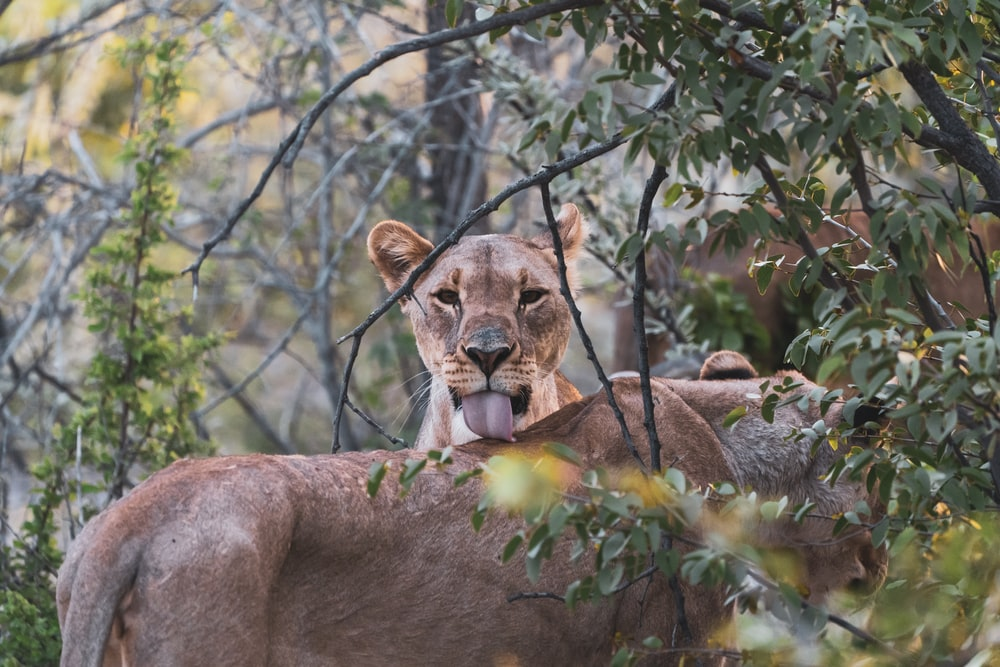 brown lioness on brown rock during daytime