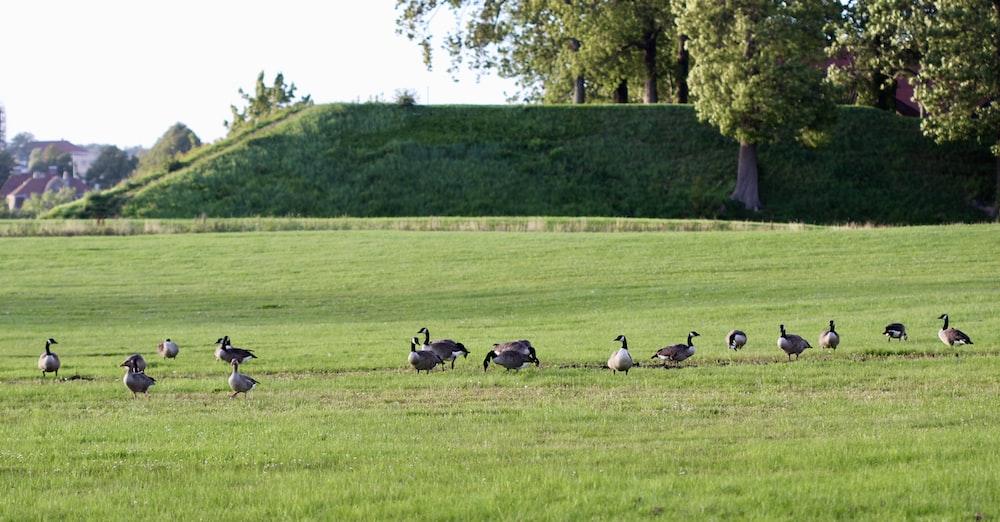 flock of birds on green grass field during daytime