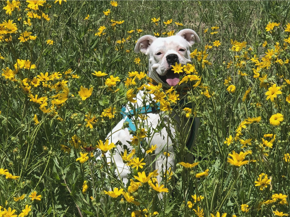 white short coated dog on yellow flower field during daytime
