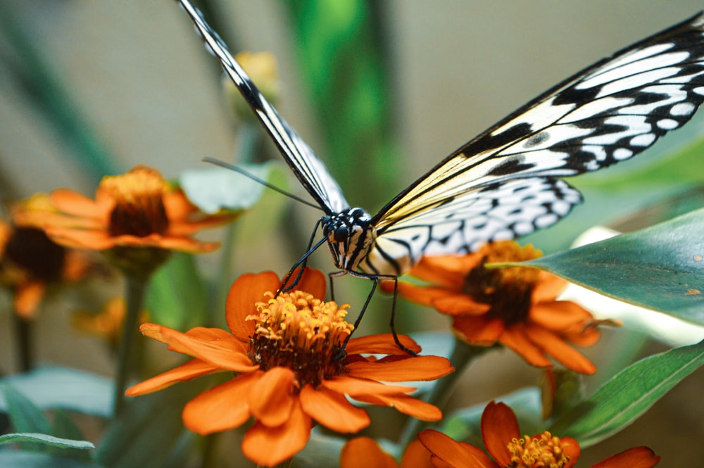 black and white butterfly on orange flower