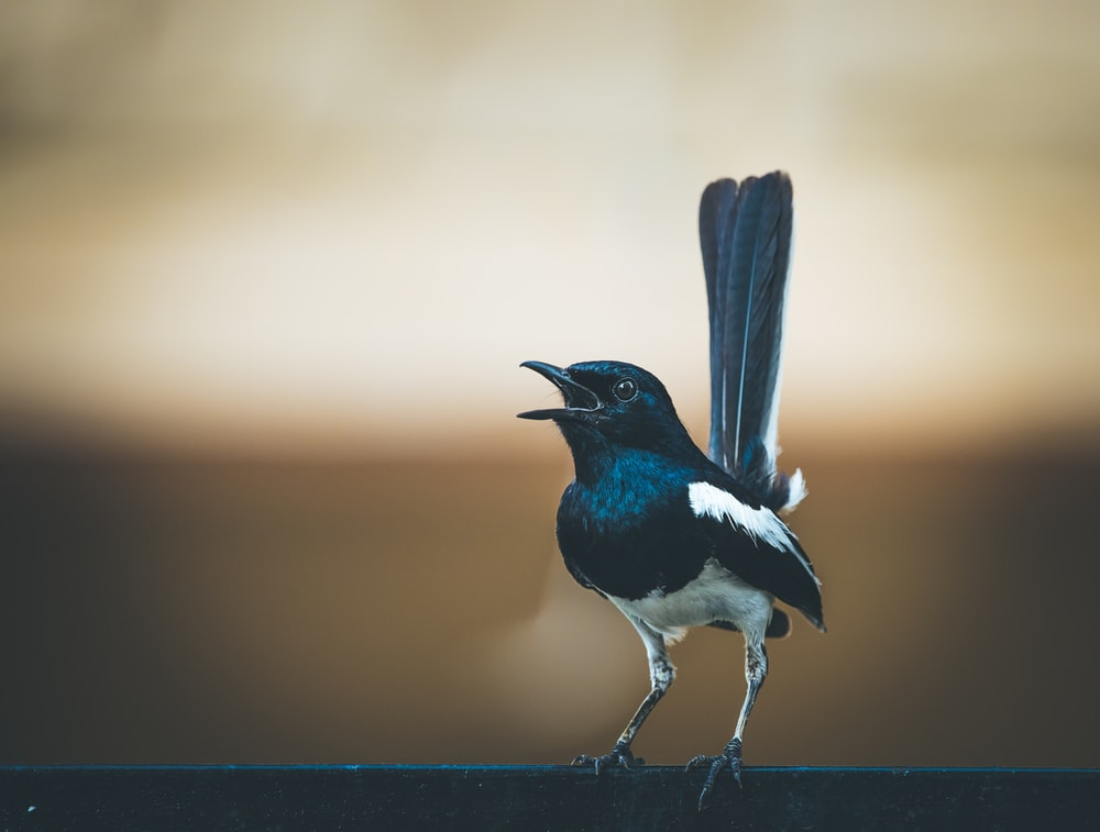 black and white bird on brown wooden fence