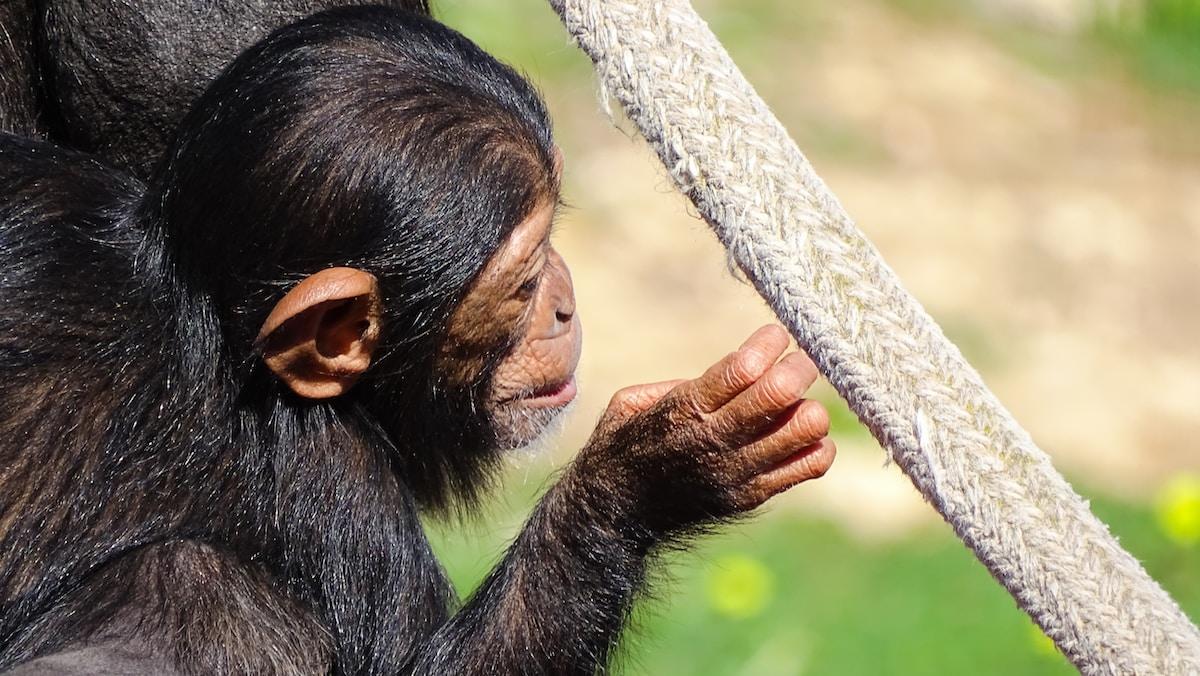 chimpancé albino, black monkey holding gray rope
