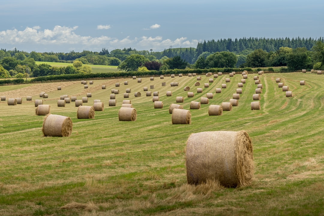 A field of golden, rolled hay bales.