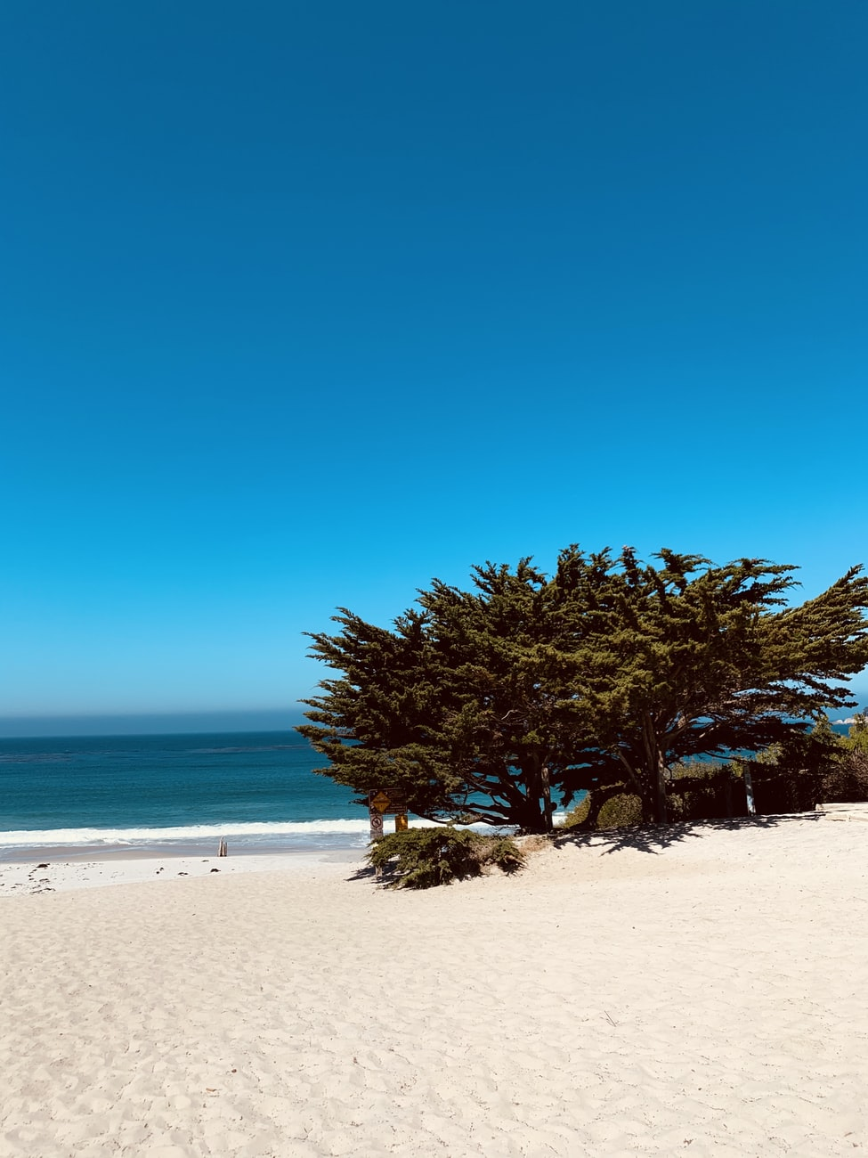 tree growing on the white sand beaches in carmel-by-the-sea