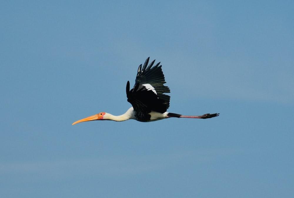 white and black stork flying under blue sky during daytime