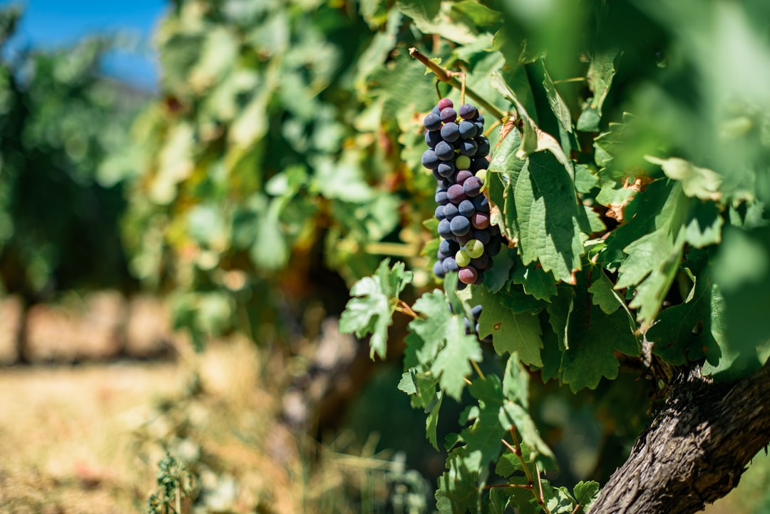 The grapes on the vineyards in Douro Valley, Portugal. The UNESCO World Heritage region where the Porto Wine is produced.