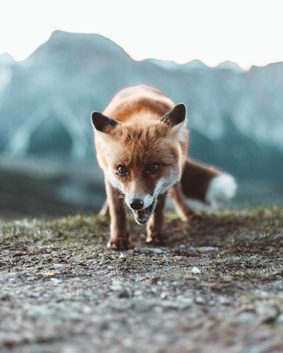 brown fox on black soil during daytime