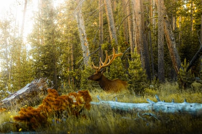 brown deer lying on green grass field during daytime yellowstone zoom background