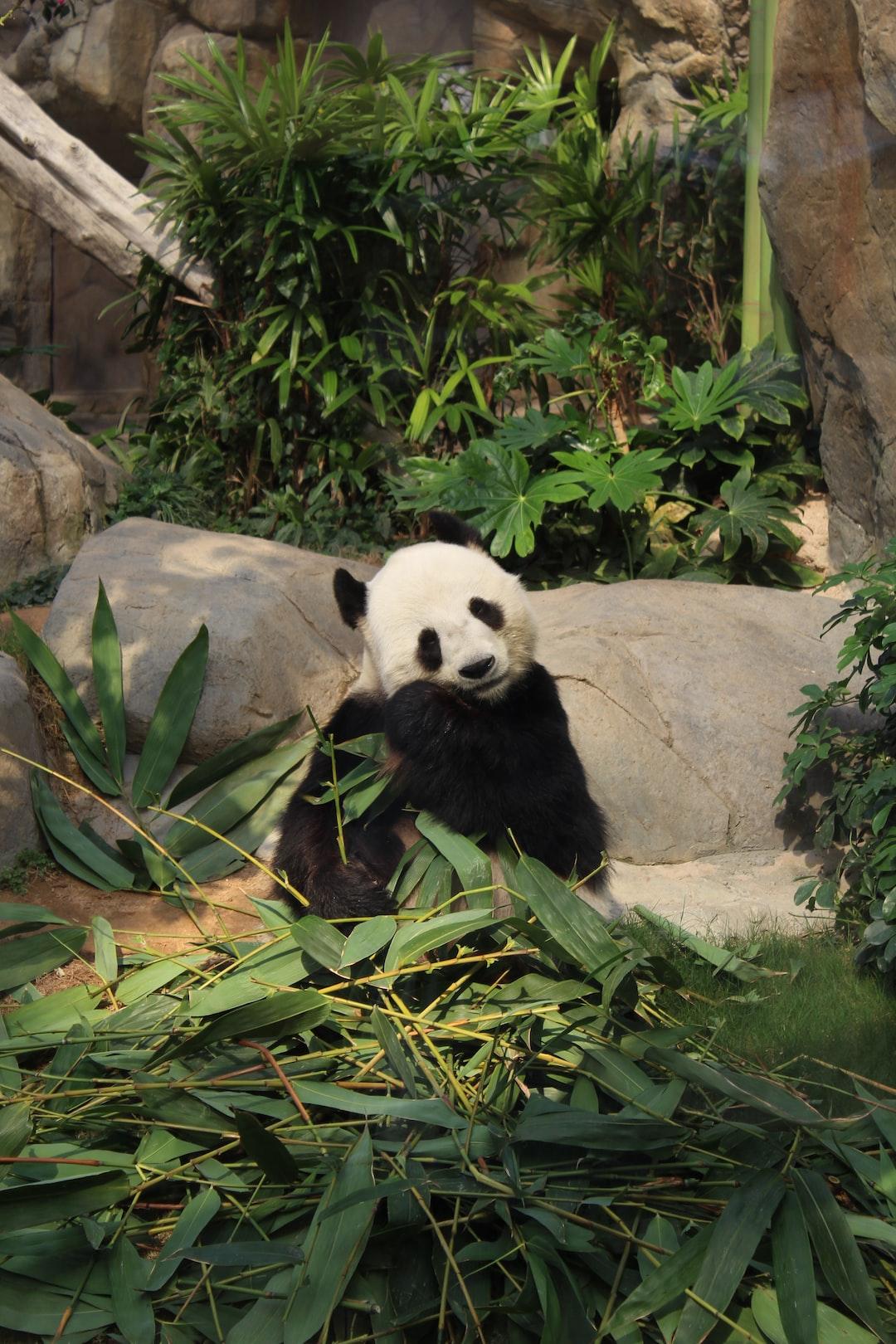 Panda having bamboo leaves at Ocean Park in Hong Kong.