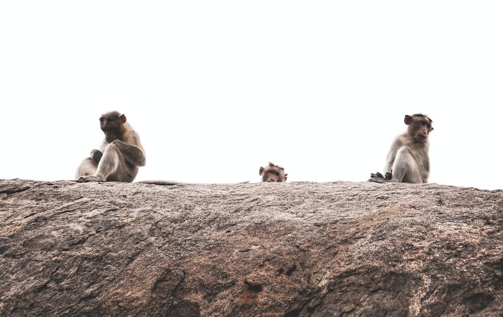 three brown monkeys on brown rock