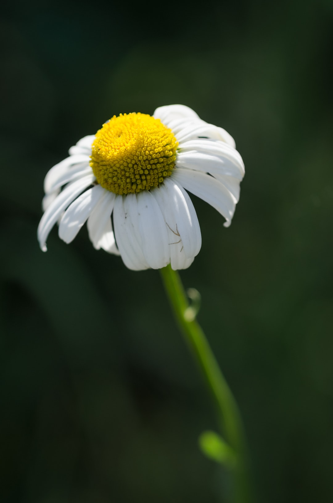 Close-up of a daisy flower, Bellis perennis