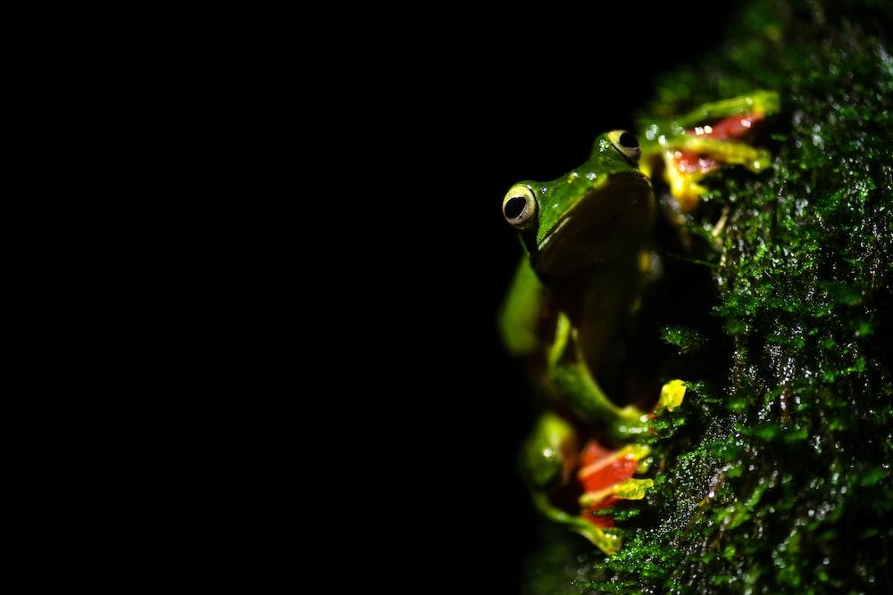 green frog in black background