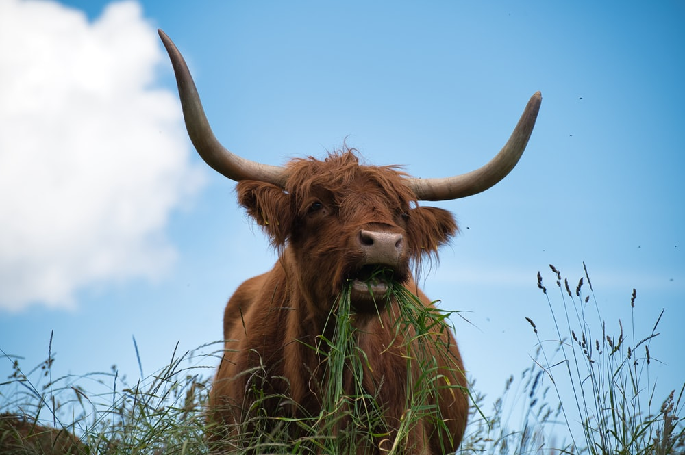 brown cow on green grass field under blue sky during daytime