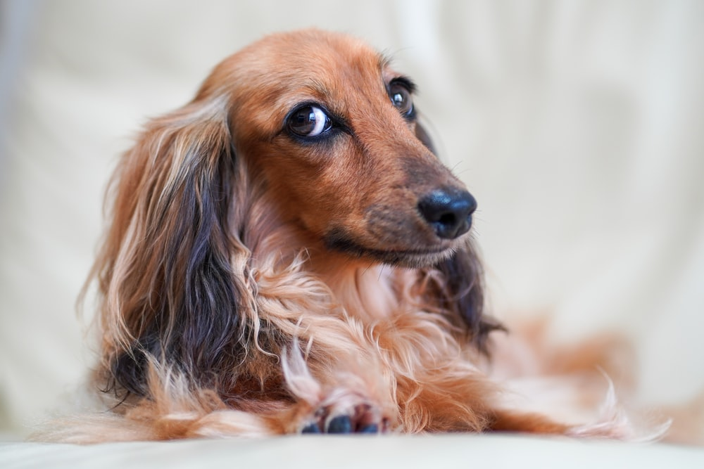 brown and black long haired dachshund