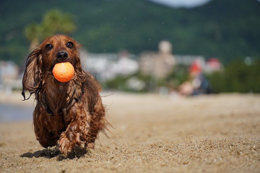 brown long coated small dog on brown sand during daytime