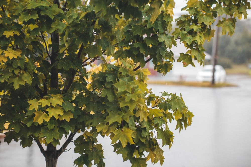 green and yellow leaves on tree branch