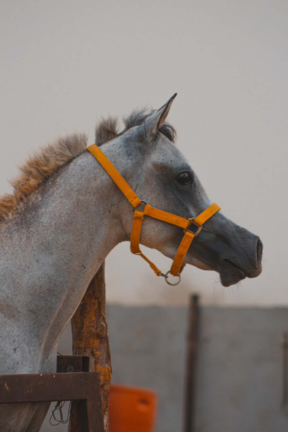 gray horse with yellow leash