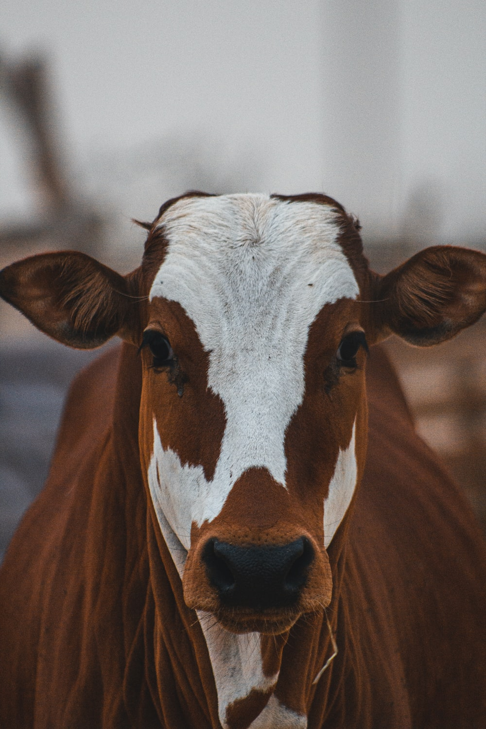 brown and white cow during daytime