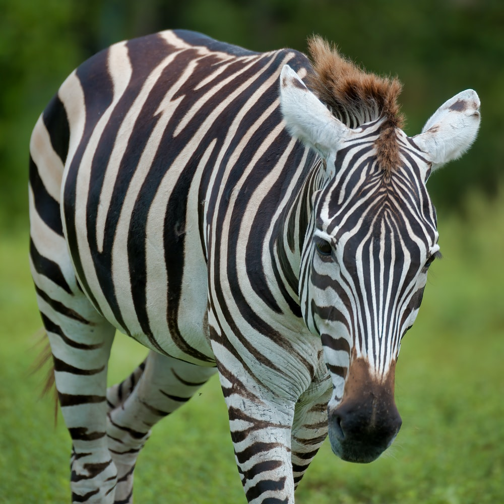 zebra standing on green grass during daytime
