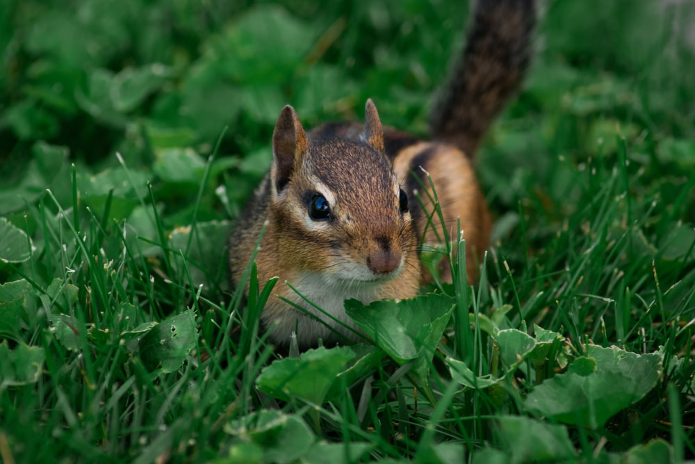 brown and white squirrel on green grass during daytime