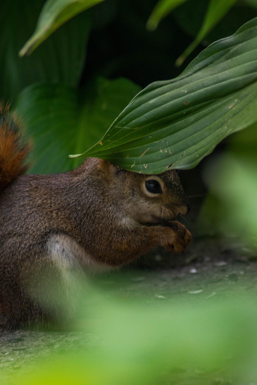 brown squirrel on green leaf