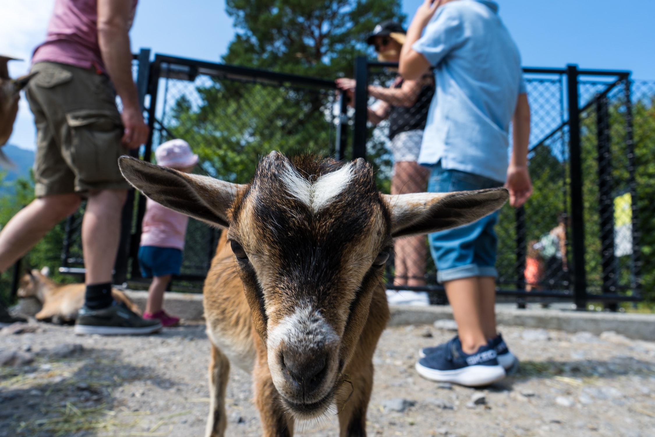 Geiss blickt direkt in die Kamera. Unsplash.com-Foto.