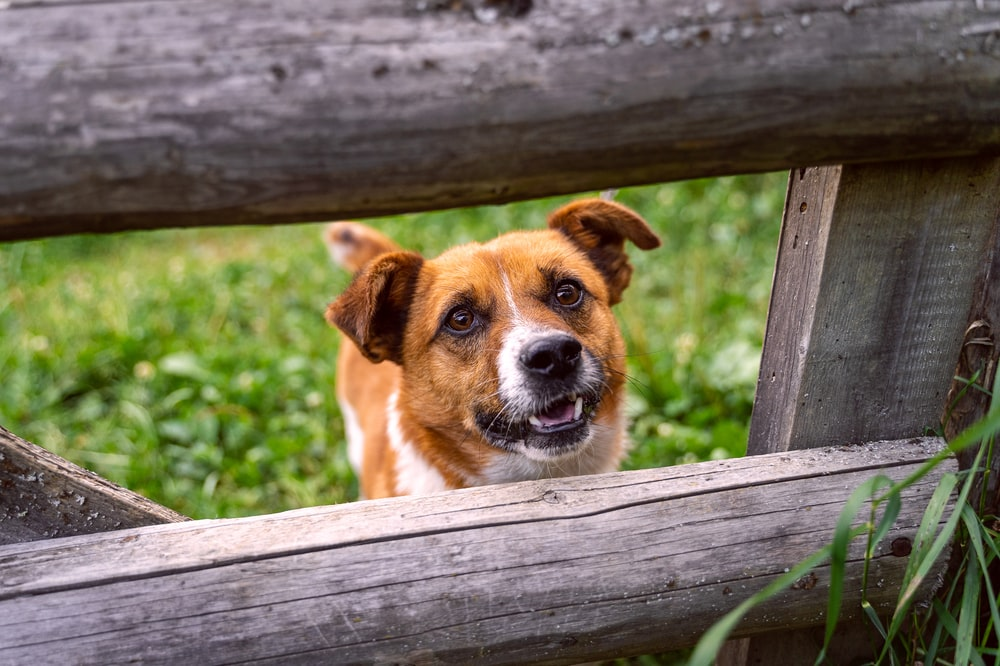 brown and white short coated dog on brown wooden fence during daytime