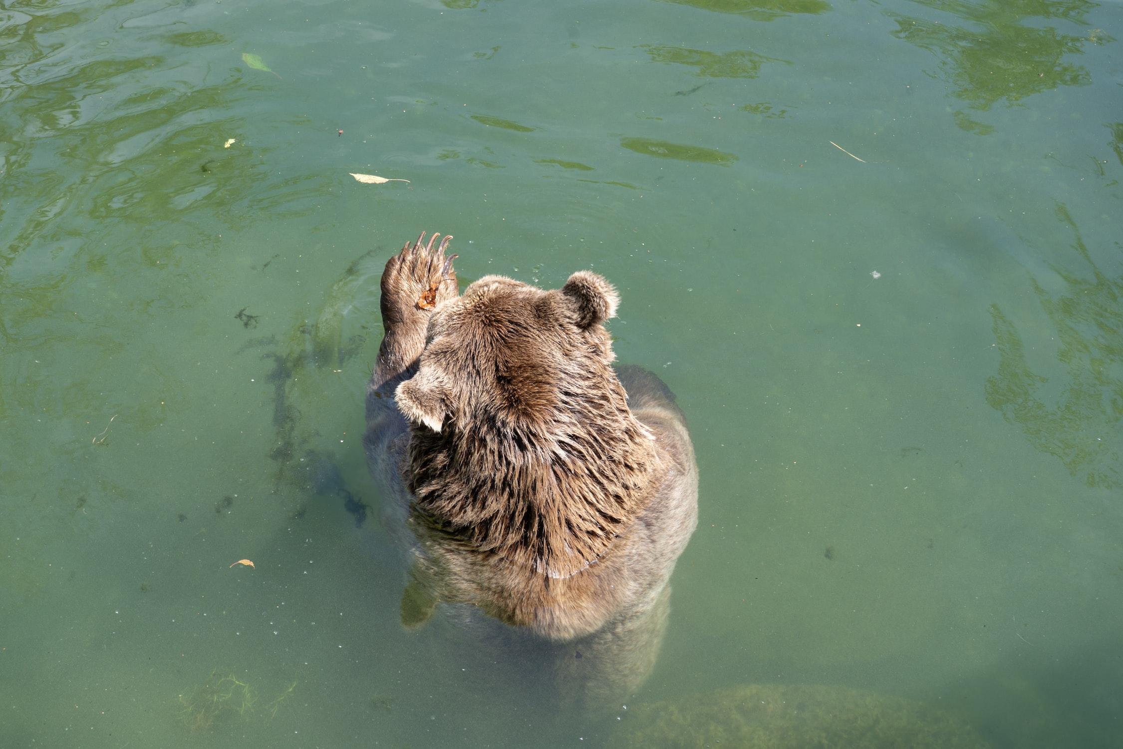 Bär im Wasser zeigt einer seiner Pfoten. Unsplash.com-Foto.
