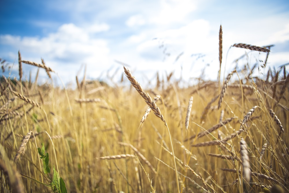 brown wheat field under blue sky during daytime