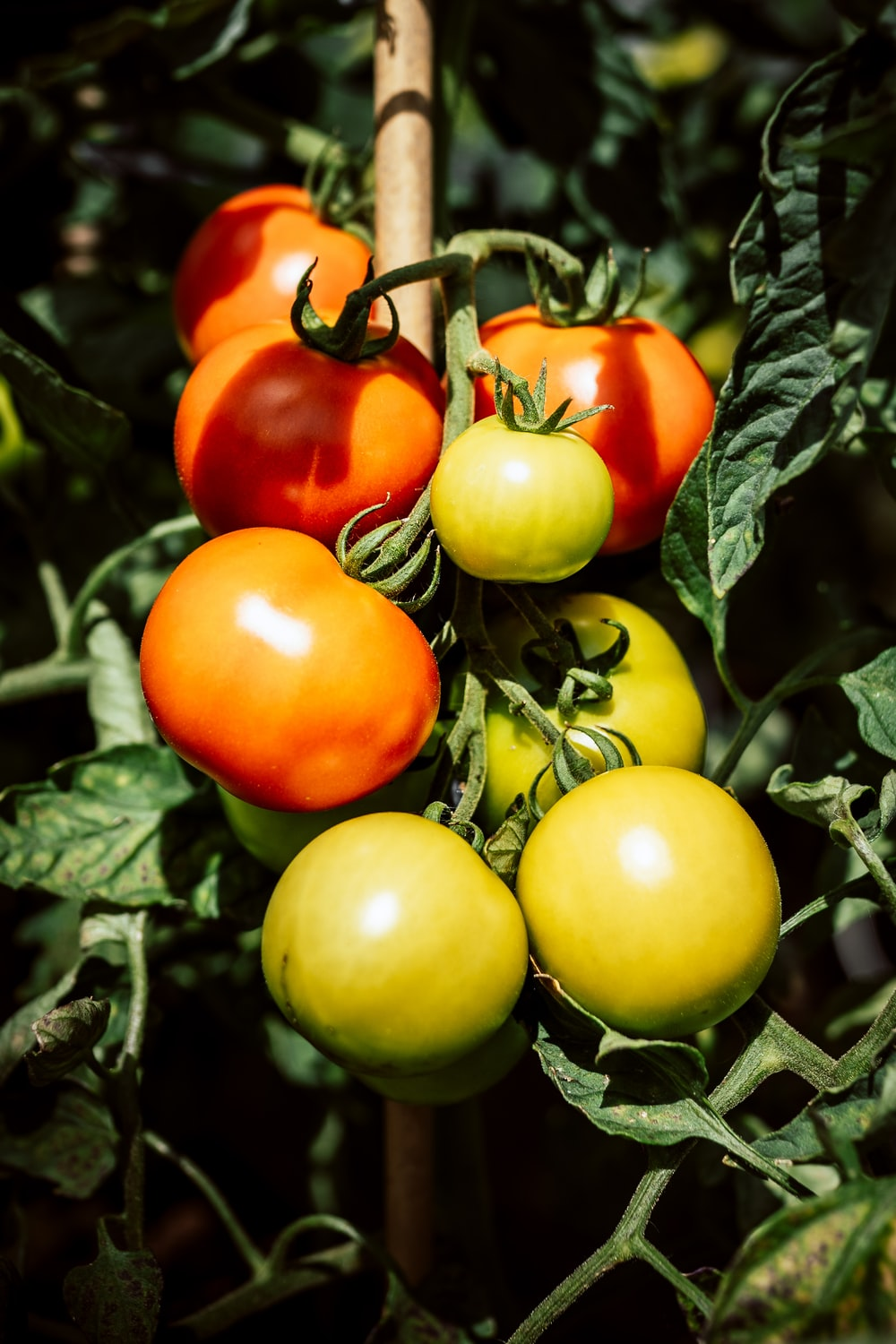 green and red tomatoes on green leaves