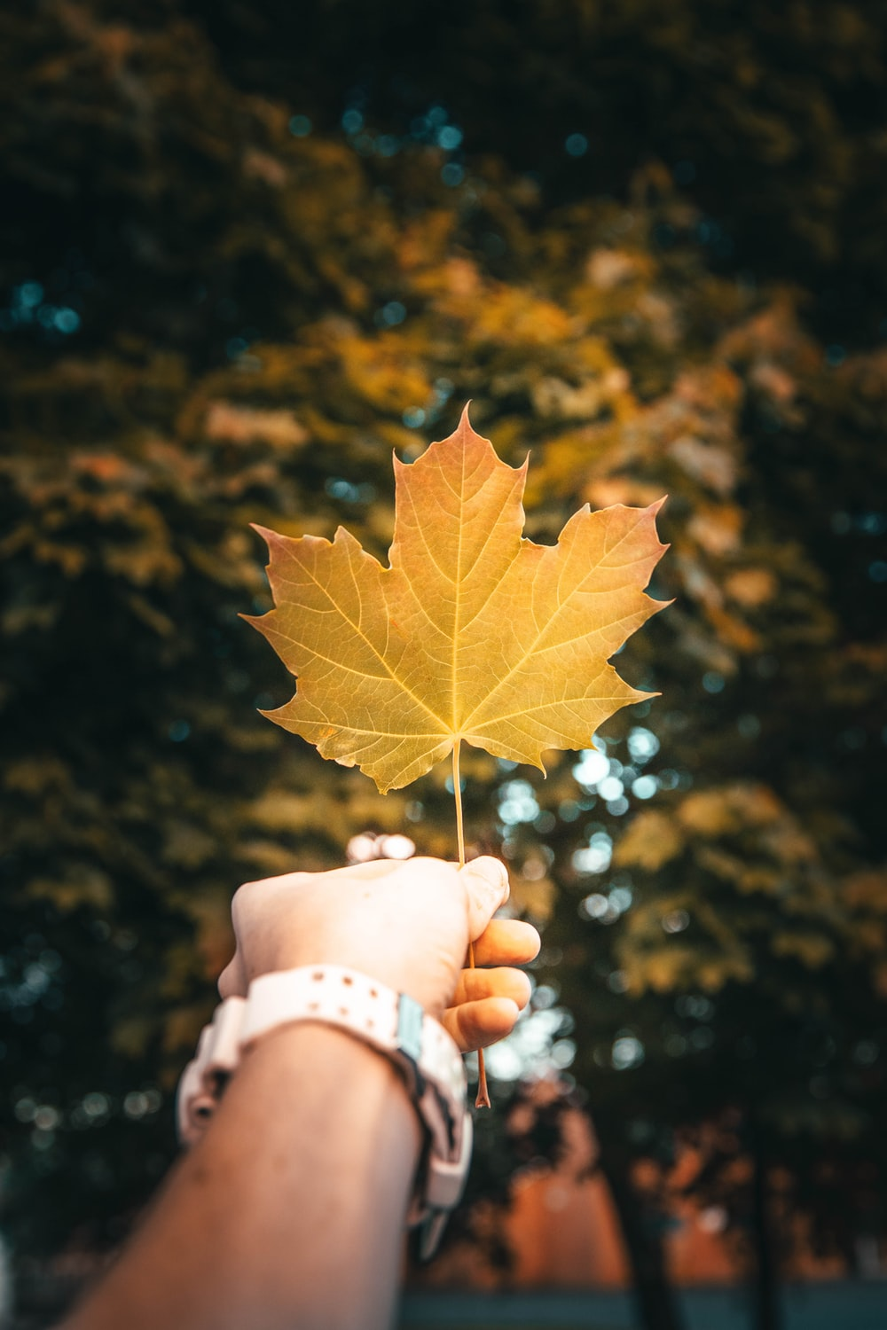 person holding yellow maple leaf