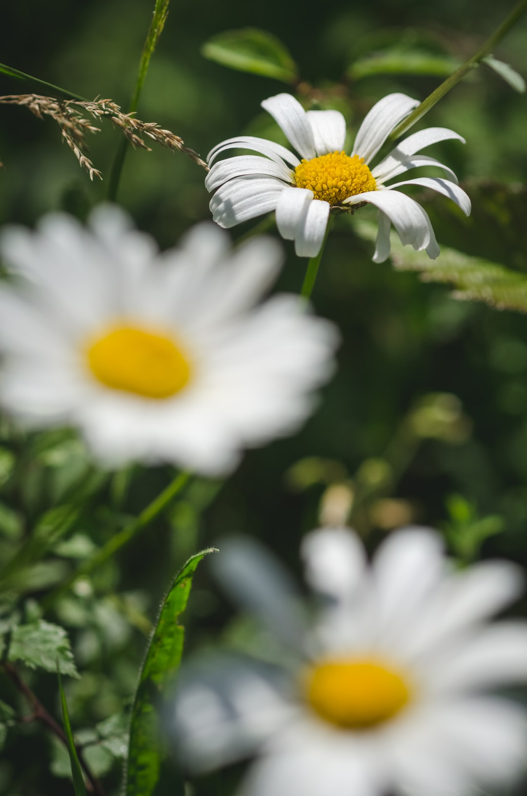 Bellis perennis, daisy flowers in a meadow during summertime