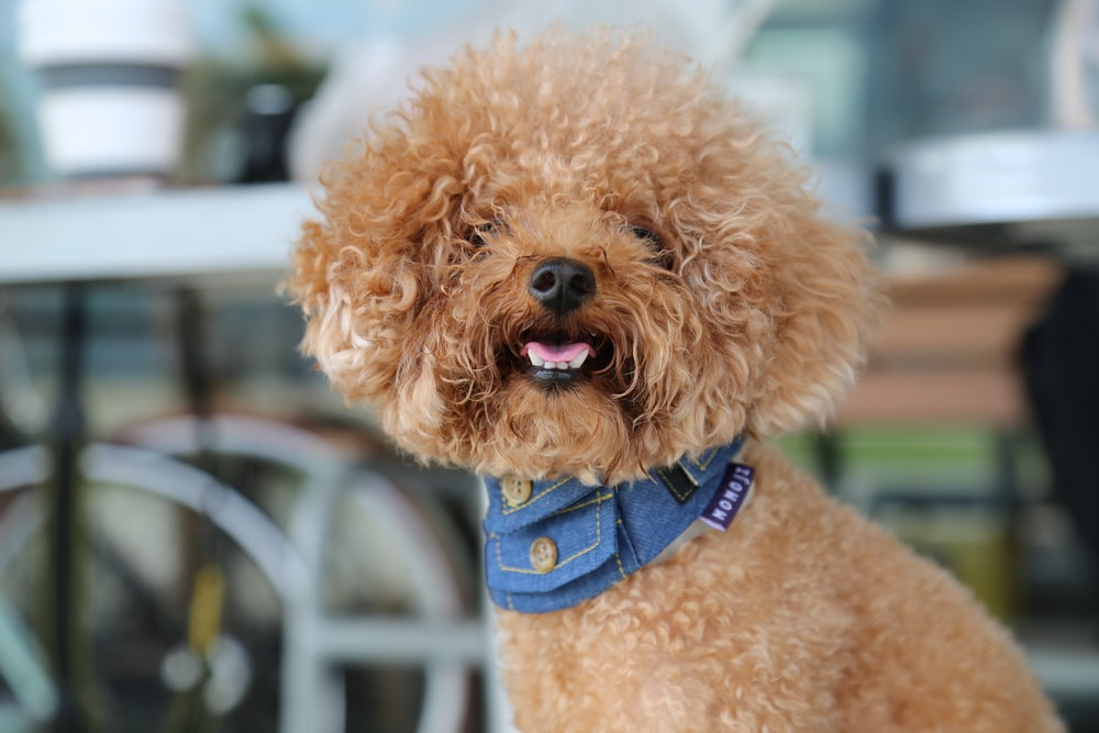 brown long coated small dog with blue and white collar