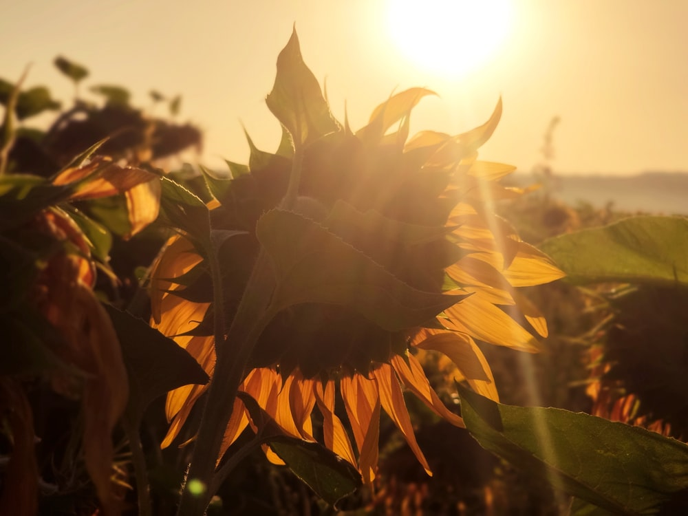 yellow sunflower in close up photography during daytime