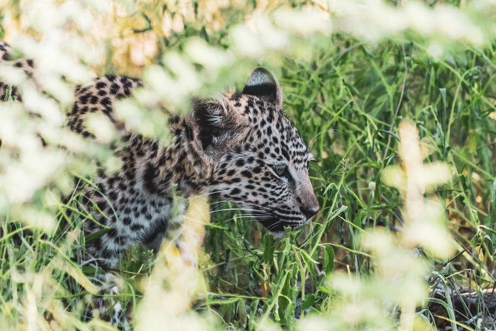 black and white leopard on green grass during daytime