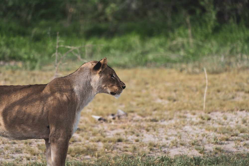 brown lioness walking on green grass field during daytime