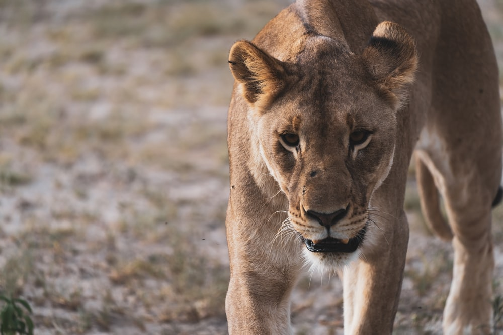 brown lioness on brown field during daytime