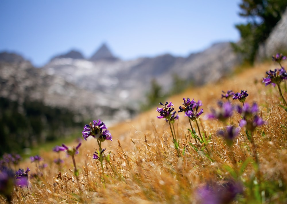 purple flower in front of mountain during daytime